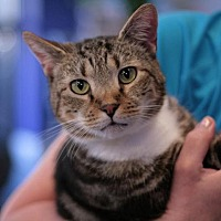Domestic Shorthair Cat for adoption in Raleigh, North Carolina - Scrabble