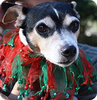 Jack Russell Terrier Mix Dog for adoption in Ocean Springs, Mississippi - Roxy