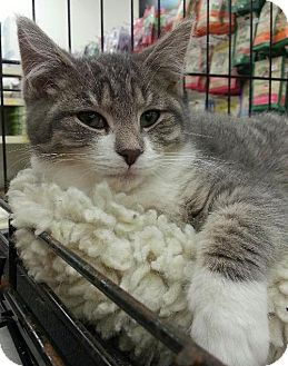Domestic Shorthair Kitten for adoption in Williamston, Michigan - Rayna - ADOPTED 01.10.15
