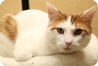 Domestic Shorthair Cat for adoption in Richmond, Virginia - Freckles