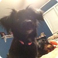 Adopt A Pet :: Amazing Andrea - Brooklyn, NY