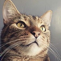 Domestic Shorthair Cat for adoption in Indianapolis, Indiana - Sookie