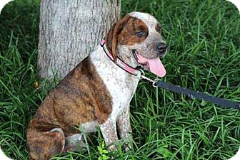 St. Bernard Mix Dog for adoption in Salem, New Hampshire - EASY GOING PAWLEY