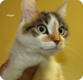 Domestic Shorthair Cat for adoption in Hibbing, Minnesota - Abigail