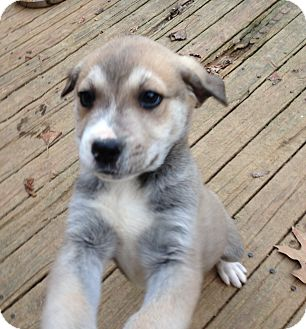 Shepherd (Unknown Type)/Husky Mix Puppy for adoption in Olive Branch, Mississippi - Boss-Adorable!