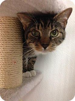 Domestic Shorthair Cat for adoption in Hendersonville, North Carolina - Tom TOm