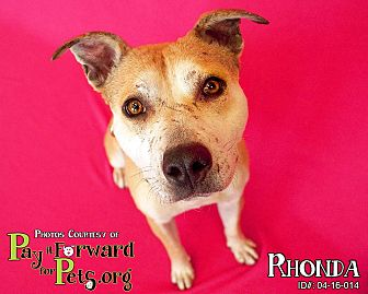 Pit Bull Terrier Mix Dog for adoption in Sharon Center, Ohio - Rhonda