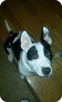 Pit Bull Terrier Mix Dog for adoption in Framingham, Massachusetts - Promise