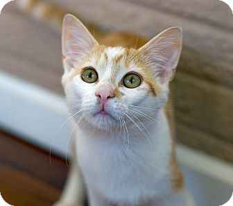Domestic Shorthair Kitten for adoption in Troy, Michigan - Mr. Peaches