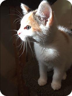 Calico Kitten for adoption in Ashland, Ohio - Kiara