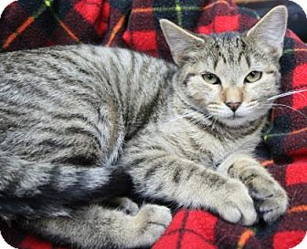 Domestic Shorthair Kitten for adoption in Benbrook, Texas - Stephanie