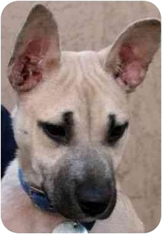 German Shepherd Dog Mix Dog for adoption in Berkeley, California - Anne