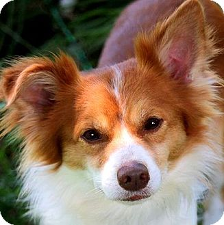 Papillon Mix Dog for adoption in Wakefield, Rhode Island - CHASE(OUR PAPILLON-SO SWEET!