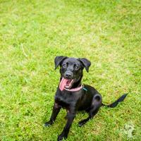 Adopt A Pet :: Trixie - Arlington, VA