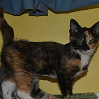 Calico Kitten for adoption in Winchester, Kentucky - Flora