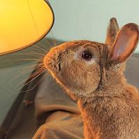 Adopt A Pet :: Chamomile - Livermore, CA