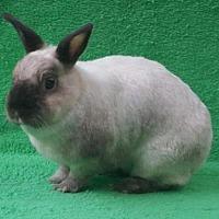 Adopt A Pet :: Cappuccino - Baton Rouge, LA