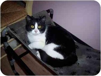 Domestic Shorthair Cat for adoption in Medina, Ohio - Sage