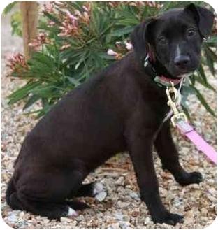 Labrador Retriever/American Pit Bull Terrier Mix Puppy for adoption in Gilbert, Arizona - Leena