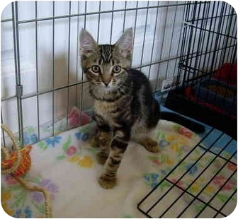 Domestic Shorthair Kitten for adoption in Saanichton, British Columbia - Roodie