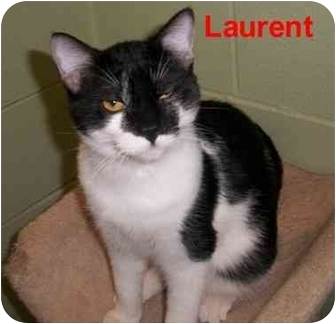 Domestic Shorthair Cat for adoption in Slidell, Louisiana - Laurant-PS
