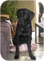 Labrador Retriever Mix Dog for adoption in Torrance, California - Fleetwood