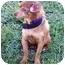 Photo 2 - Chihuahua Mix Dog for adoption in Sullivan, Missouri - Josie