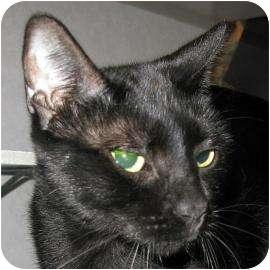 Domestic Shorthair Cat for adoption in Austin, Texas - Rio