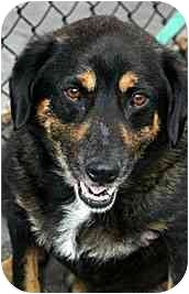 Shepherd (Unknown Type) Mix Dog for adoption in Los Angeles, California - Sam