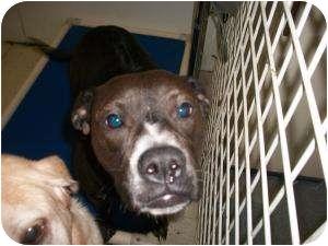 Rhodesian Ridgeback/American Bulldog Mix Dog for adoption in North Pole, Alaska - Bubbles