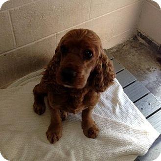 Cocker Spaniel Mix Dog for adoption in Sacramento, California - Donnie