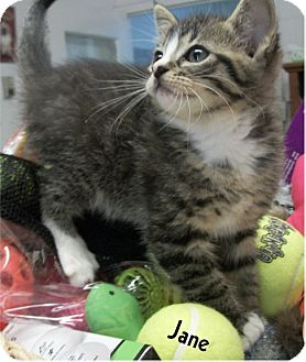 Domestic Mediumhair Kitten for adoption in Ozark, Alabama - Jane