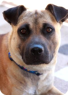 German Shepherd Dog/Pit Bull Terrier Mix Dog for adoption in Phoenix, Arizona - Sasha