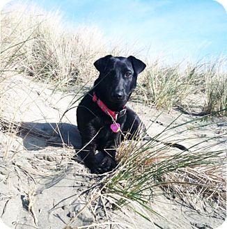 Labrador Retriever/Shepherd (Unknown Type) Mix Dog for adoption in San Francisco, California - Rudie