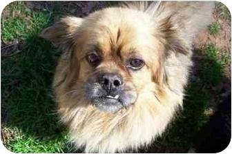 Pekingese/Lhasa Apso Mix Dog for adoption in spartanburg, South Carolina - Jessie