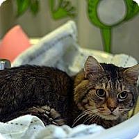 Adopt A Pet :: Atlas - Brooklyn, NY