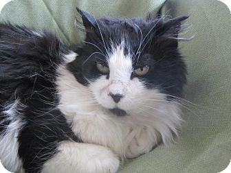 Domestic Longhair Cat for adoption in Ridgway, Colorado - Charlotte