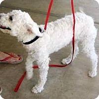 Adopt A Pet :: Fifi - Chandler, AZ