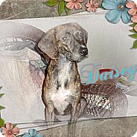 Adopt A Pet :: Daisey - Tampa, FL