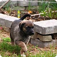 Adopt A Pet :: Chiot - Reisterstown, MD