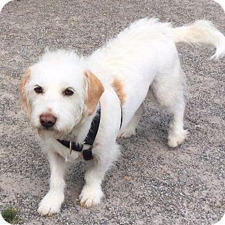 Brussels Griffon Mix Dog for adoption in East Hartford, Connecticut - Nikki Adoption Pending