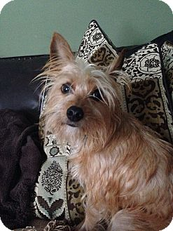Yorkie, Yorkshire Terrier/Cairn Terrier Mix Dog for adoption in Palatine, Illinois - Nya