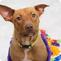 Adopt A Pet :: Venus - Millersville, MD