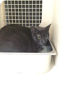 Domestic Shorthair Cat for adoption in Warren, Michigan - Colleen