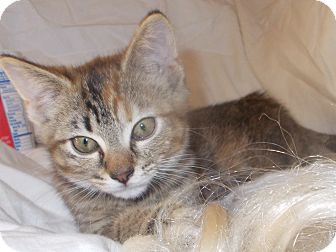 Domestic Shorthair Kitten for adoption in Nashville, Tennessee - Vivianne