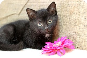 Domestic Shorthair Kitten for adoption in Midland, Michigan - Mary