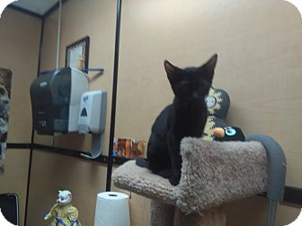 Domestic Shorthair Kitten for adoption in Palm Springs, California - Denzel