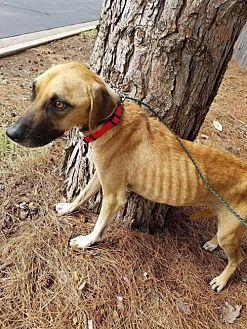 Hound (Unknown Type)/Shepherd (Unknown Type) Mix Dog for adoption in New York, New York - Juliet