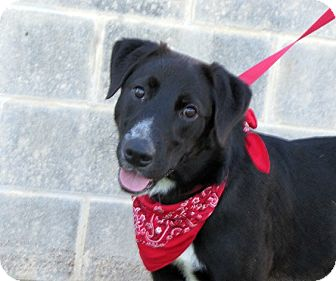 Labrador Retriever Mix Dog for adoption in Brattleboro, Vermont - Bigsby