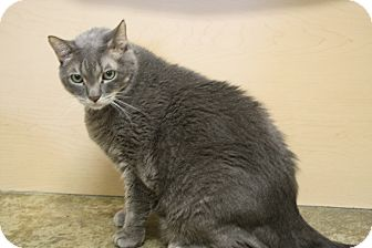 Domestic Shorthair Cat for adoption in North Hollywood, California - Dusty